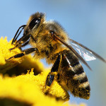 Honey Bees vs. Bumblebees: How to Tell the Difference